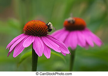 Coneflowers and bees - Purple coneflowers (Echinacea...