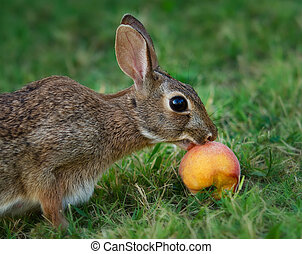 Cottontail bunny eating peach - Cottontail bunny rabbit...