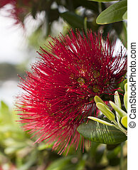 Pohutukawa Flower - The P%u014Dhutukawa is one of twelve...