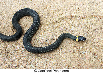 Natrix. Black snake crawling on the sand. - Natrix. Little...