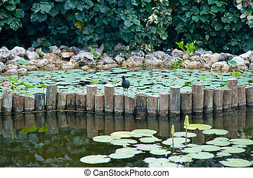 Moorhen and pond