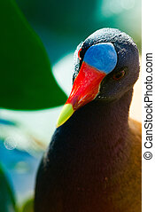 American Purple Gallinule (Porphyrio martinica) - The adult...