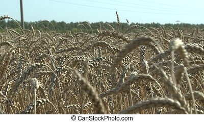 close up view on wheat at simmer day - ripe wheat at simmer...
