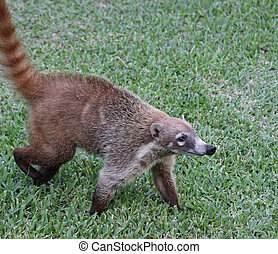 Proud Coati - A White-nosed Coatis Nasua narica foraging...