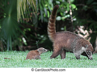 Baby Coati Following Mom - A baby and its mother White-nosed...
