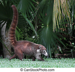 Adult Coati - An adult White-nosed Coatis Nasua narica...