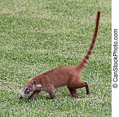 Coati in the Grass - A White-nosed Coatis Nasua narica...