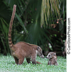 Mom and Baby Coati - A baby and its mother White-nosed...