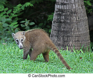 Young Coati - A juvenile White-nosed Coatis Nasua narica...