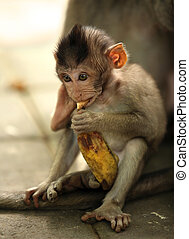 Child of monkeys - The child of the monkey with a banana....