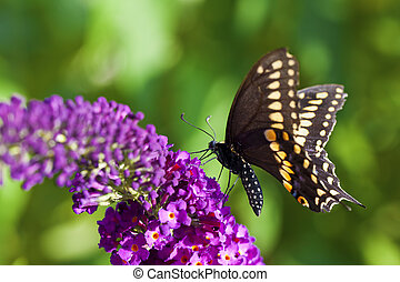 Black Swallowtail Butterfly - A macro shot of a female Black...