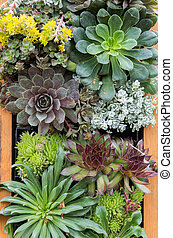 Sedum or sempervivium used for green roofs - Sedum plants or...