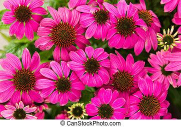 Purple echinacea flowers - Blooming echinacea or cone...