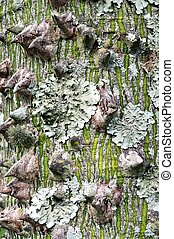 Lichen on a tree trunk. - Foliose lichen Parmelipsis ambigua...