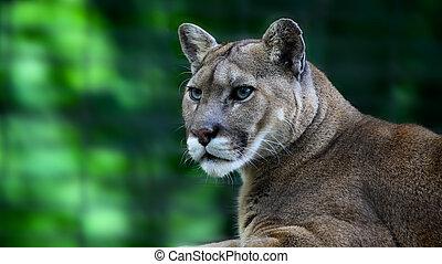 mountain lion, Puma concolor - mountain lion, or cougar,...