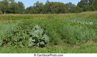 vegetable garden - summer , vegetable garden