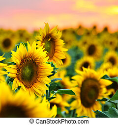 Sunflowers field at sunset - Beautiful sunflowers in the...