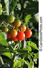 Homegrown Tomatoes - Homegrown cherry tomatoes in a garden.