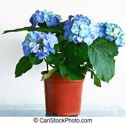 Hydrangea - Flowered hydrangea in pot in front of white...