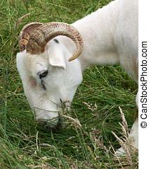 Grazing Sheep - Wilshire Horn Sheep