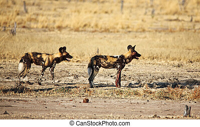 Lycaon pictus african wild dogs in luangwa national park...