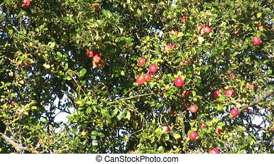 Apple tree zoom out