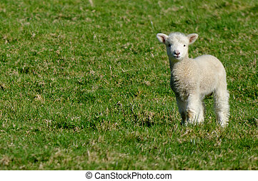 Sheep Farm - A lamb during spring in a sheep farm in New...