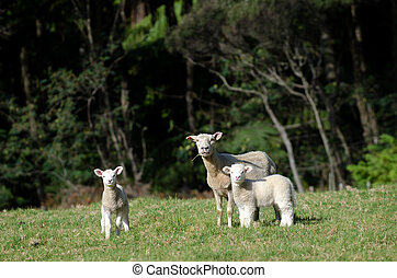 Sheep Farm - Mother sheep and her lambs during spring in a...