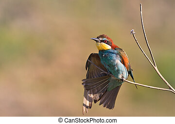 european bee eater Merops Apiaster on the branch