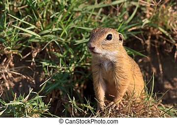 prairie dog in the grass - a curious and suspicious prairie...