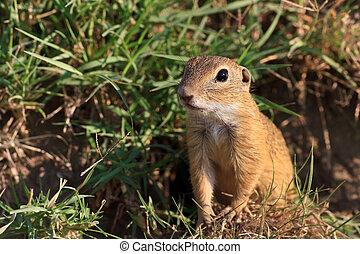 prairie dog in the grass - a curious and suspicious prairie...