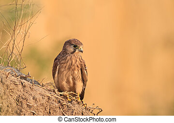 Common Kestrel falco tinnunculus in a natural habitat