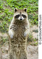 Raccoon Standing