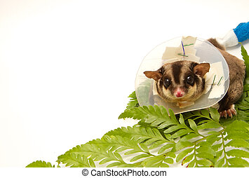 sugar-glider on callar - sugar-glider sick wearing...