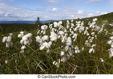 Cotton grass on a summer day