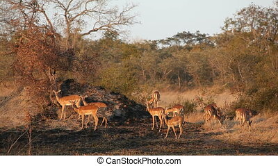 Impala antelopes - Small herd of Impala antelopes (Aepyceros...