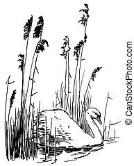 Bird Mute Swan in the lake