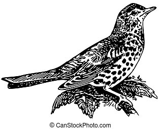 Bird Mistle Thrush on the branch