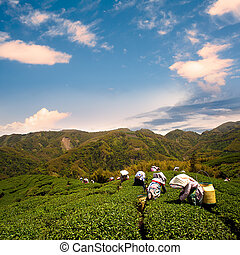Ba Gua Tea garden in mid of Taiwan, This is the very famous...