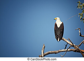fishing eagle in luangwa national park zambia