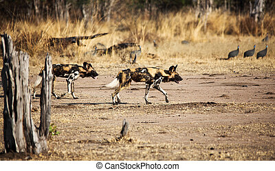 wild dogs - lycaon in luangwa nationa park zambia