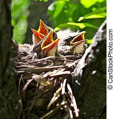 nestlings - robin`s classic nest