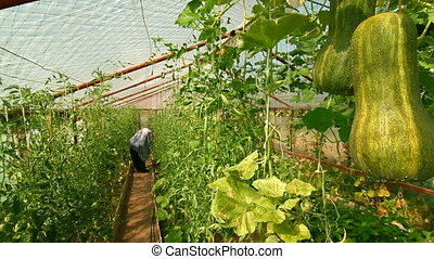 DOLLY: Pumpkin - Pumpkin Growing in Vegetable Greenhouse...