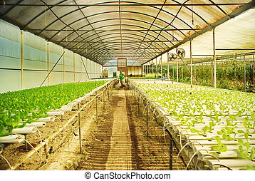 Hydroponic Farm, St. Croix, USVI - These lettuce sprouts and...