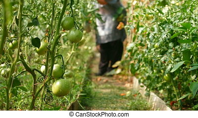 Gardener in Vegetable Greenhouse - Female gardener...