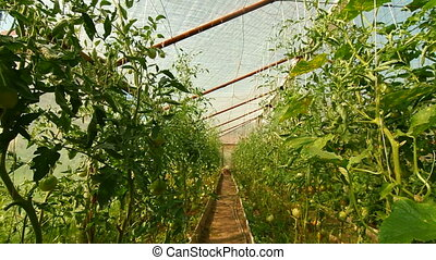 DOLLY: Tomatoes Greenhouse - Ripening tomatoes in the...