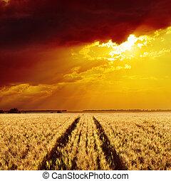 dourado, trigo, campo, pôr do sol