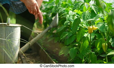 Gardener watering bell pepper