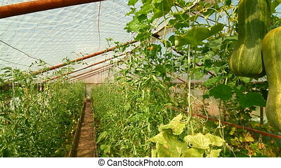 DOLLY: Pumpkin  - Pumpkin Growing in Vegetable Greenhouse