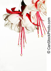 Fuchsia flowers - Red and white fuchsia flowers. Not...